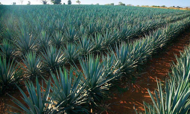 Плантация голубой агавы