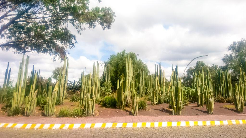 Теотиукан  кактусы