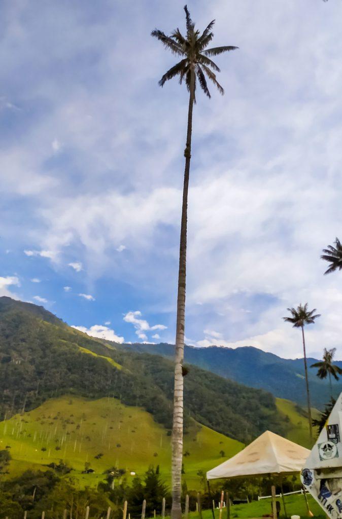 Долина Кокора восковая пальма