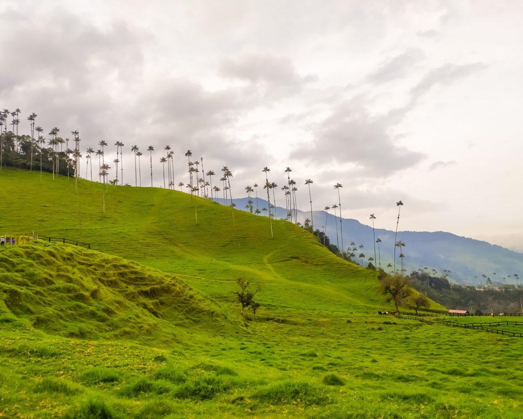 Долина Кокора пальмы на лугу