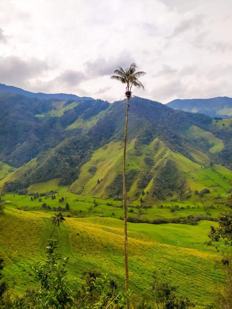 Долина Кокора гигантская пальма