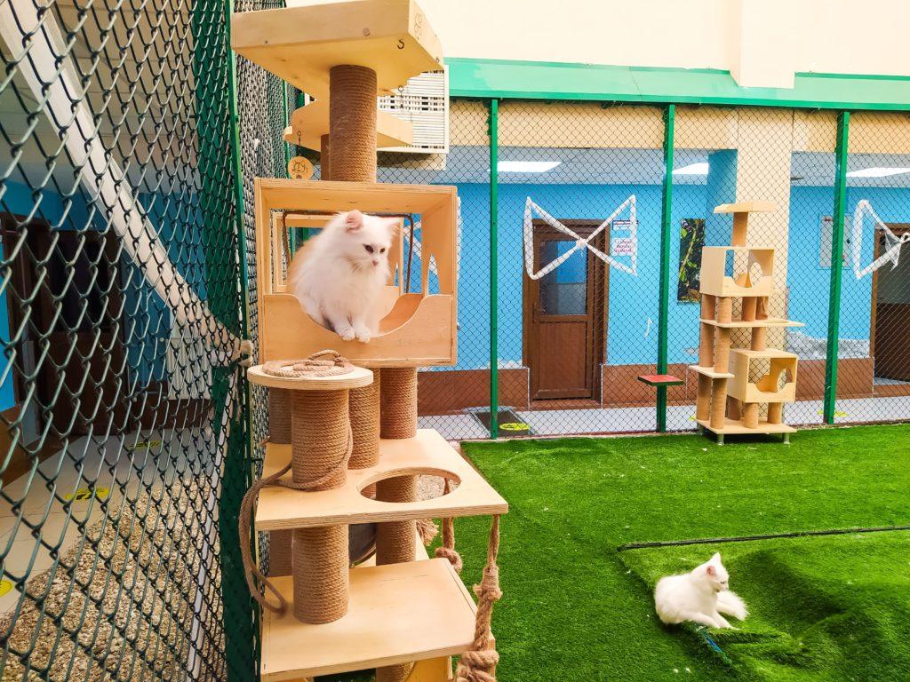 Ванская кошка в питомнике
