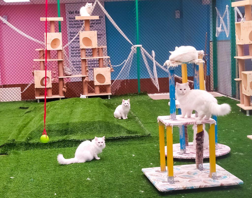 Питомник ванской кошки
